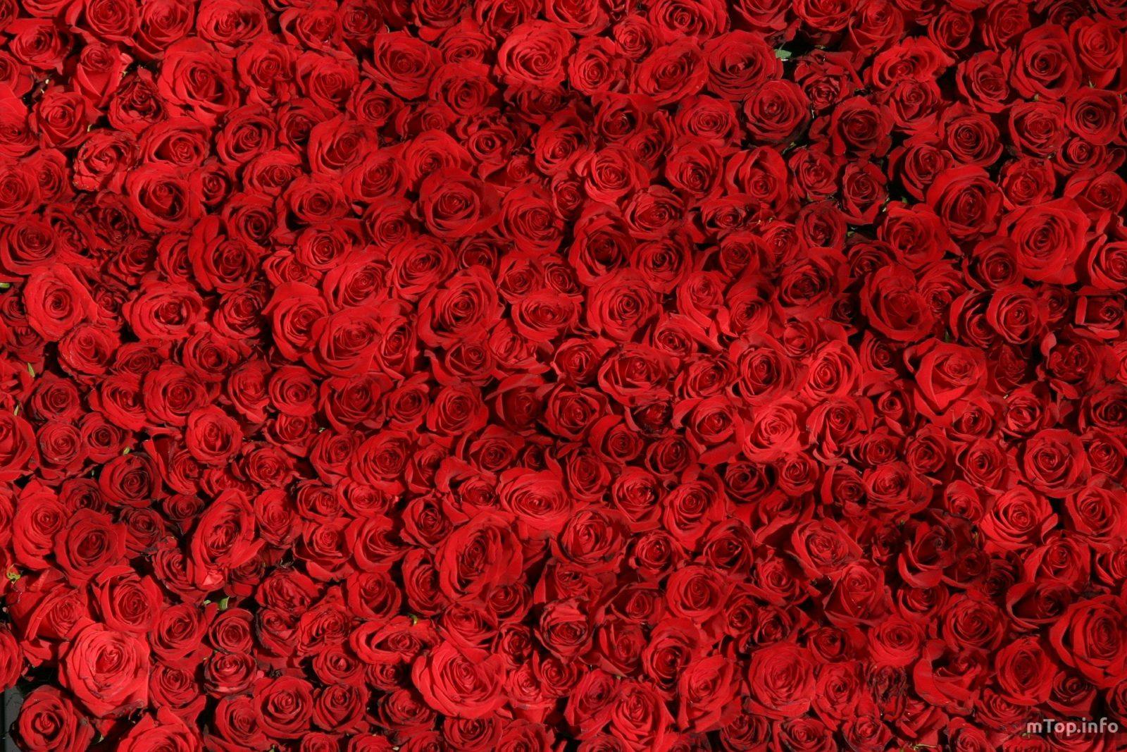 Из лепестков розы готовят средство для кожи лица